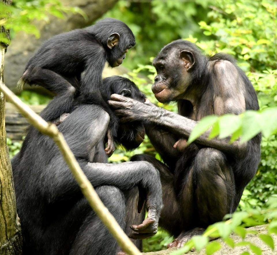 Bonobos, along with chimpanzees, are the two species most closely related to human beings.