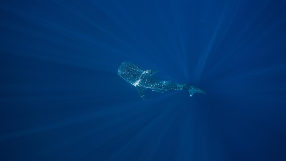 A whale shark in the open ocean.