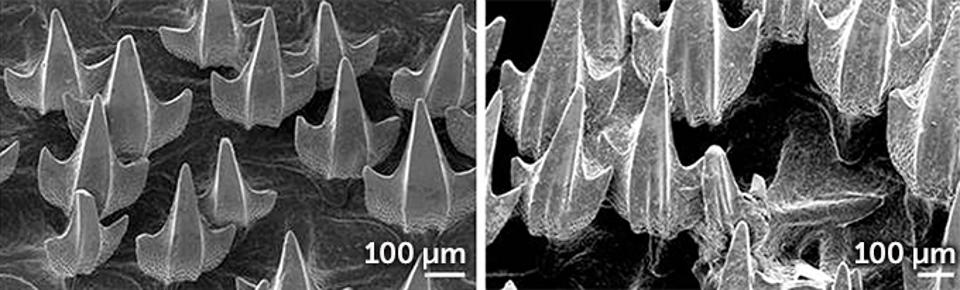 Scanning electron micrographs show that the denticles of puffadder shysharks kept in pH 7.3 water for nine weeks (right) were substantially more degraded than those of sharks kept in normal ocean water (left).