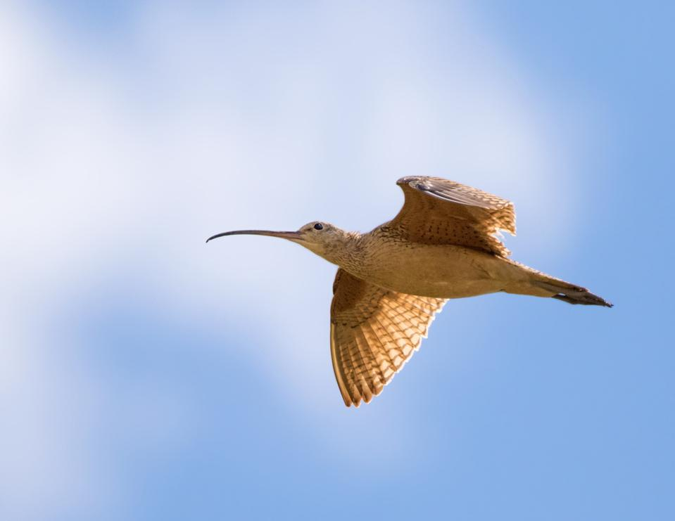 Long-billed_Curlew_Nick-Saunders