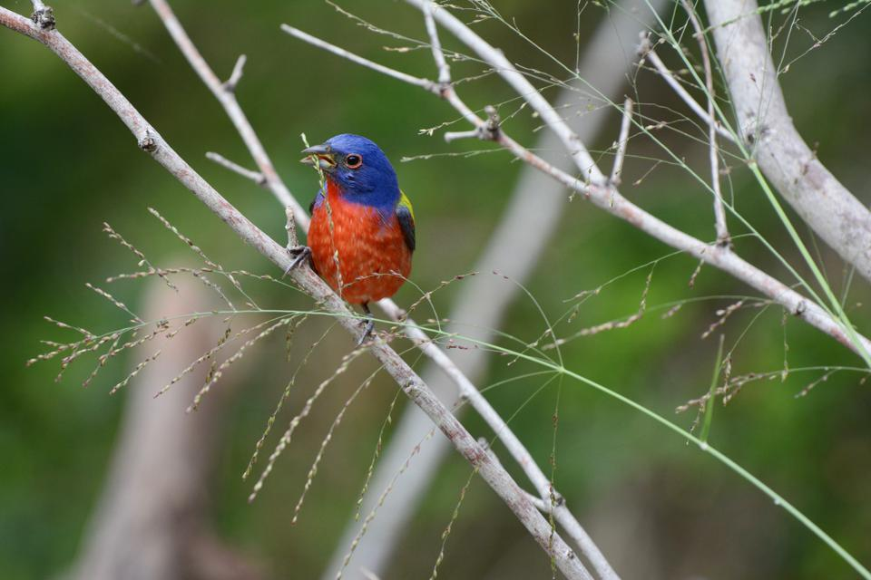 Painted_Bunting_Kyle_Horton