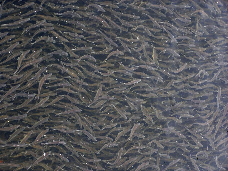 River herring in a small tributary in Maine.