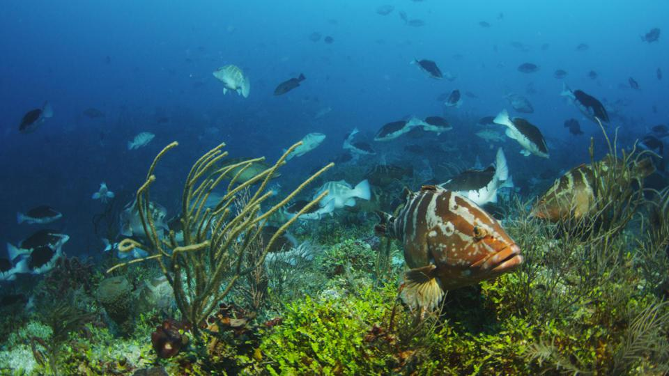 A Nassau grouper on a coral reef with lots of fish in the background.