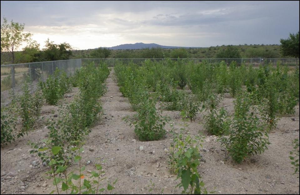 poplar trees isoprene study arizona