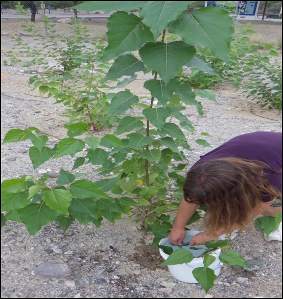 poplar trees research arizona