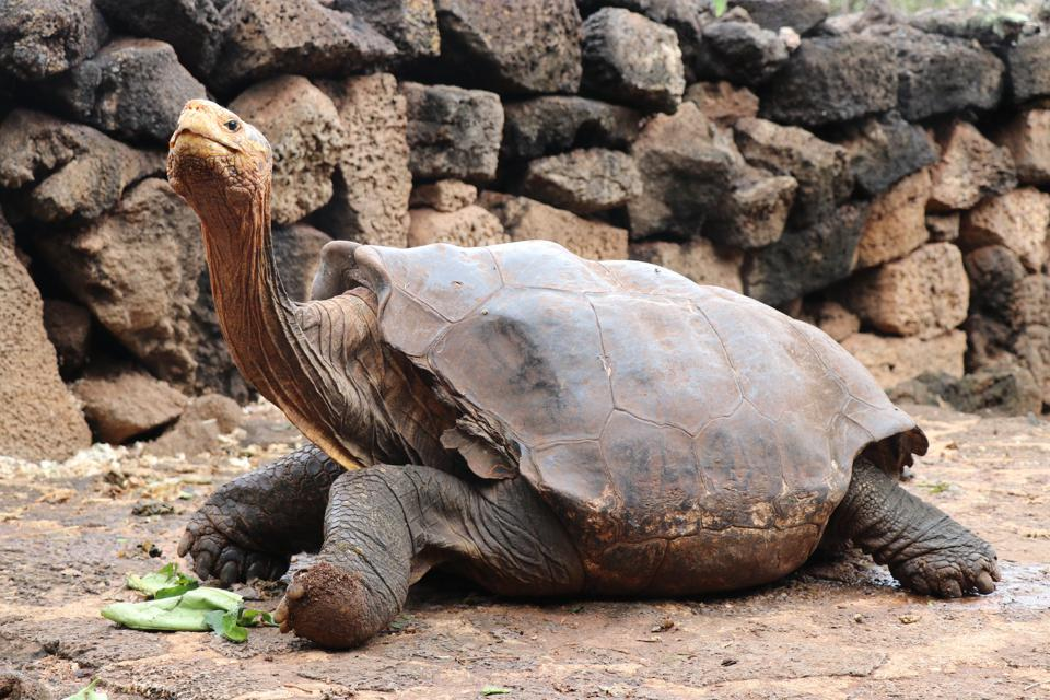 100-year-old Diego the giant tortoise will be released back to his home on Española.