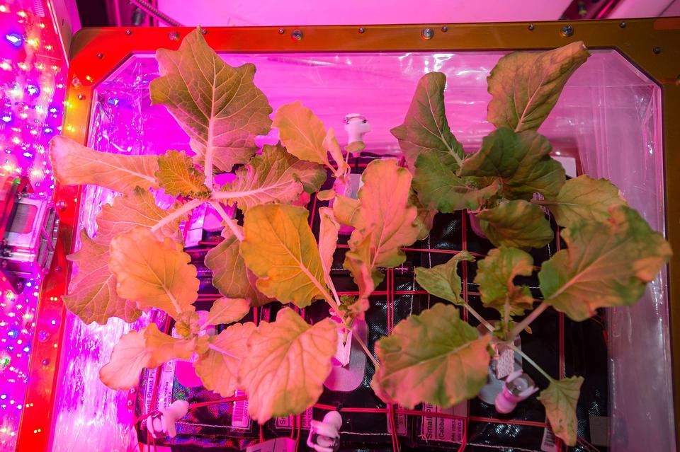 A picture of Tokyo Bekana Chinese cabbage growing in a NASA Veggie unit.