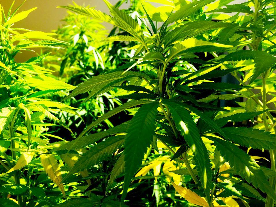Bright Cannabis Plant