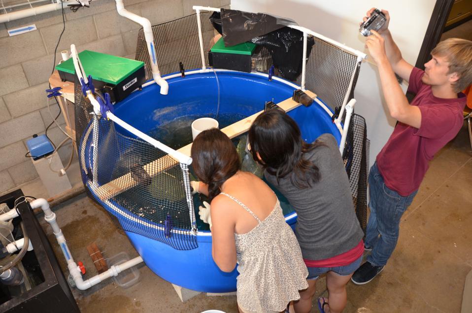 White Seabass aquaculture