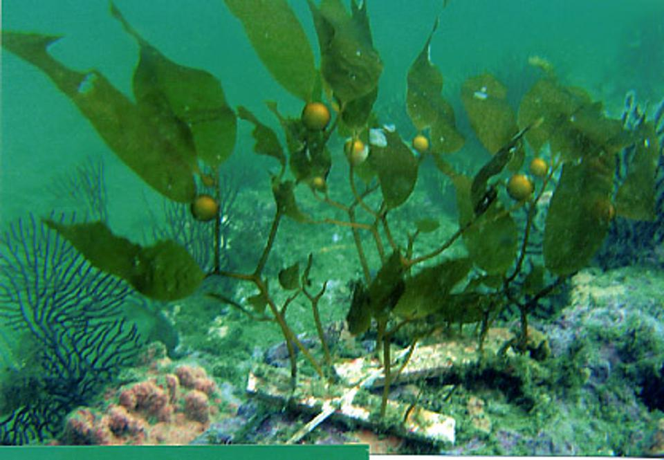 kelp outplanted