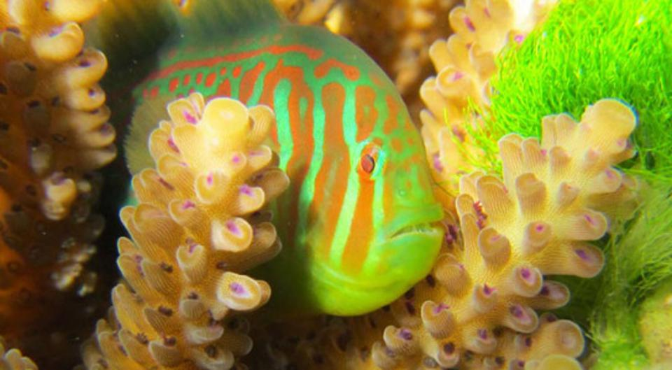 How These Corals Use Fish As Bodyguards Against Toxic Seaweed