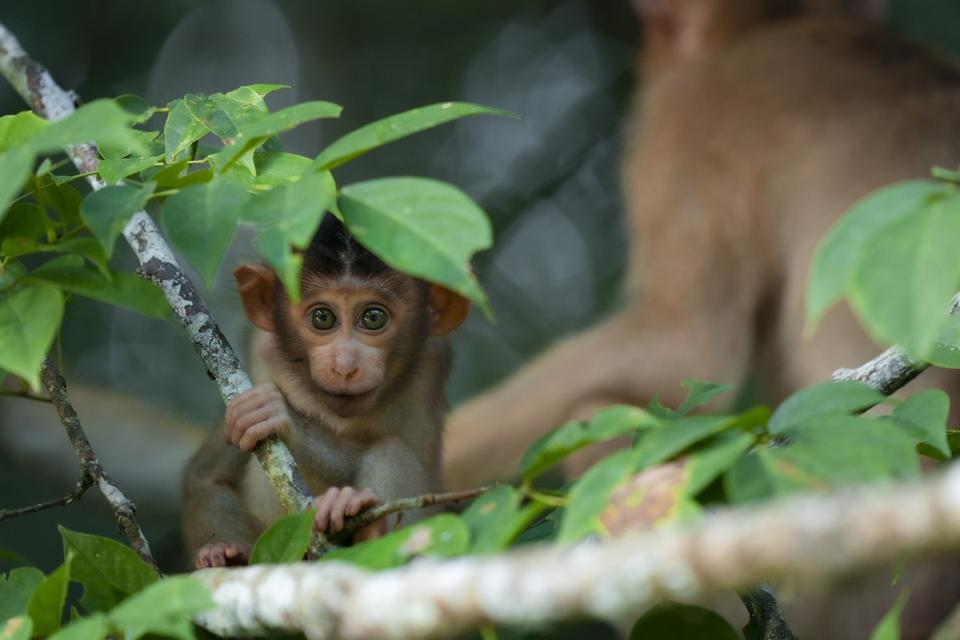Baby pig-tailed macaque under a green leaf.