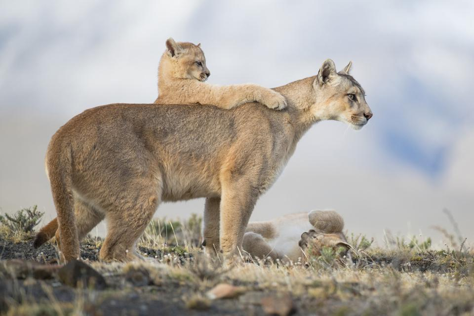 Endangered Pumas in Chile