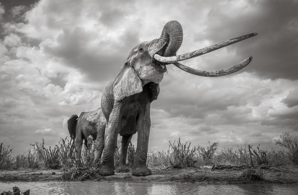 One of the last elephants with incredibly long tusks, Endangered Planet