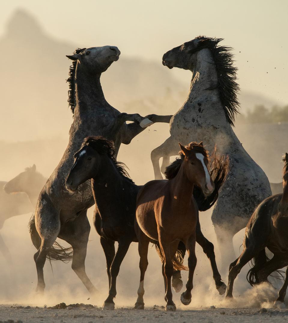 Wild stallions battling in the desert.
