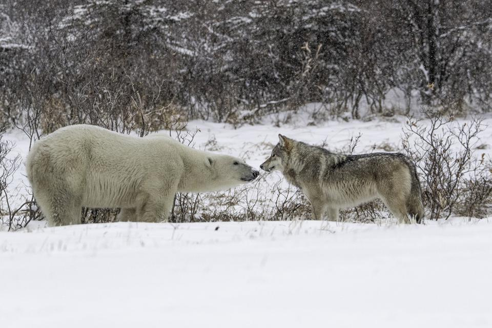 Peaceful encounter of a wolf and a polar bear, Thrills & Adventures