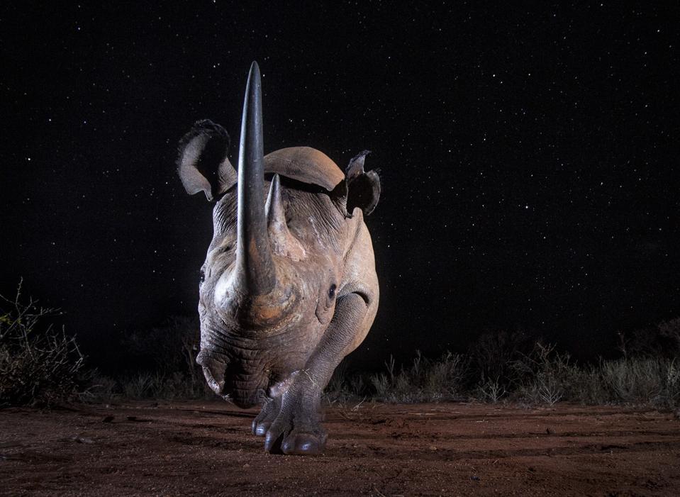 A black rhino at night, Dusk to Dawn