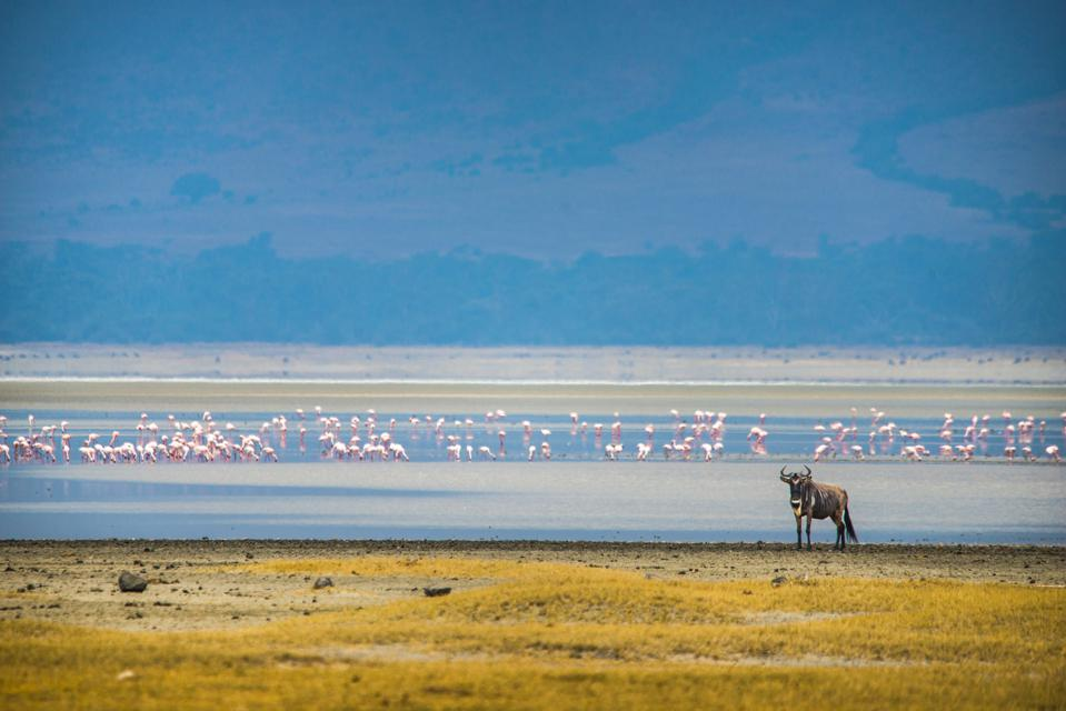 Pink flamingos in a blue lake with a  wildebeest, Art of Travel