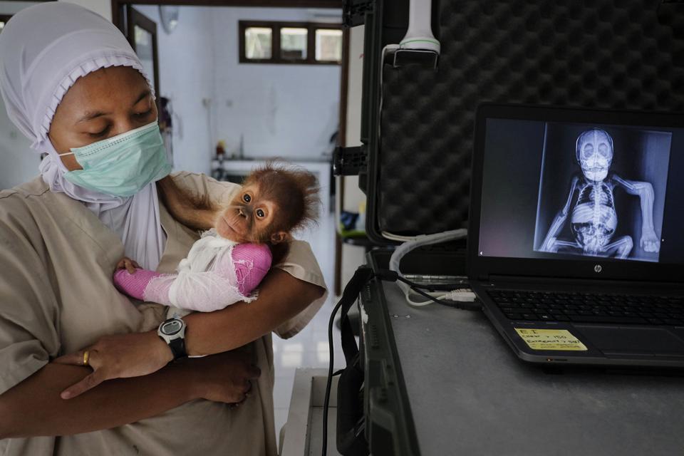 baby orangutan with broken arm, Endangered Planet