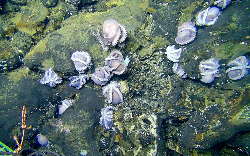 A gathering of octopuses on a rocky sea floor