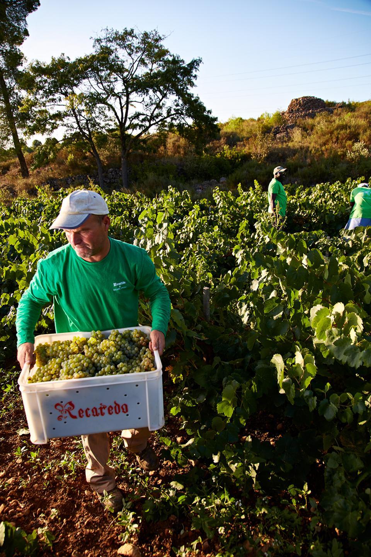 Recaredo manual harvest
