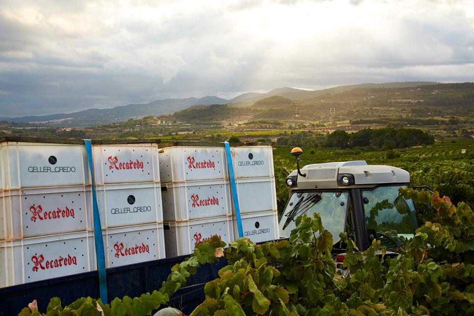 Recaredp grapes at harvest