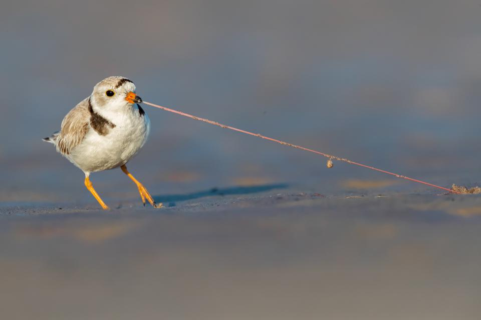 Beautiful Piping Plover, Bird Photographer Of The Year
