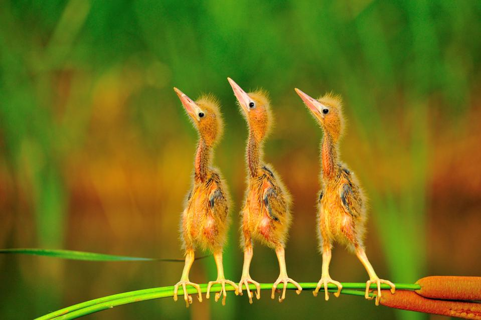 new born yellow bitterns,  Bird Photographer Of The Year