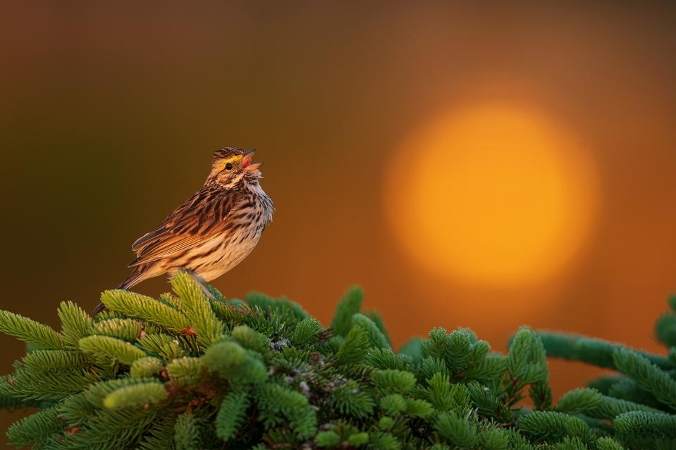 Beautiful singing sparrow, Bird Photographer Of The Year