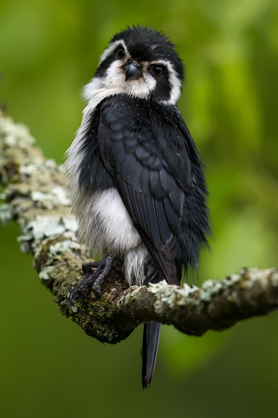 Beautiful falconet,  Bird Photographer Of The Year