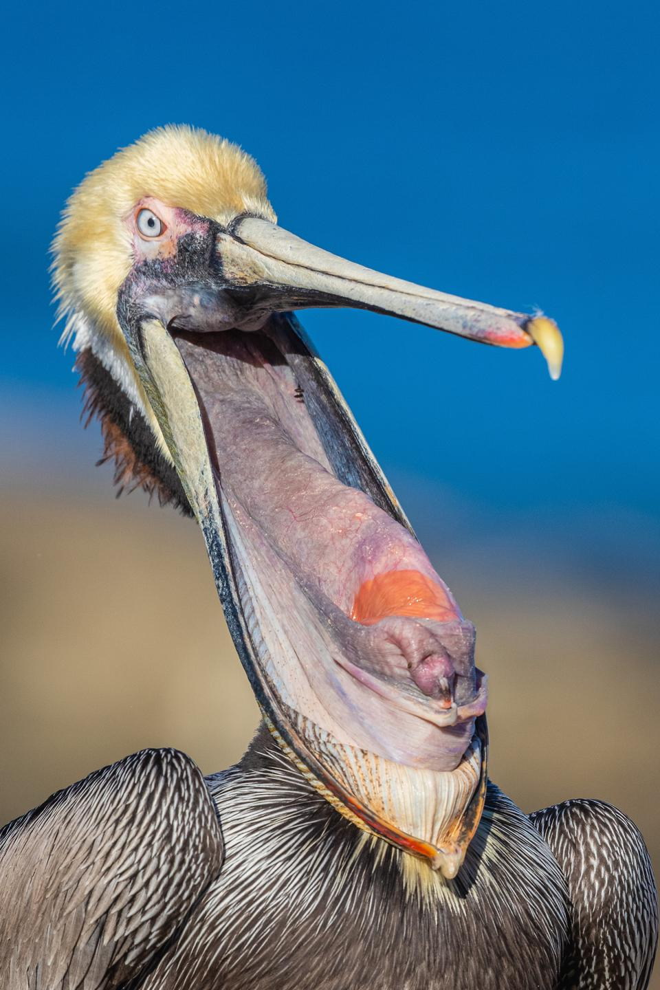 amazing pelican, Bird Photographer Of The Year