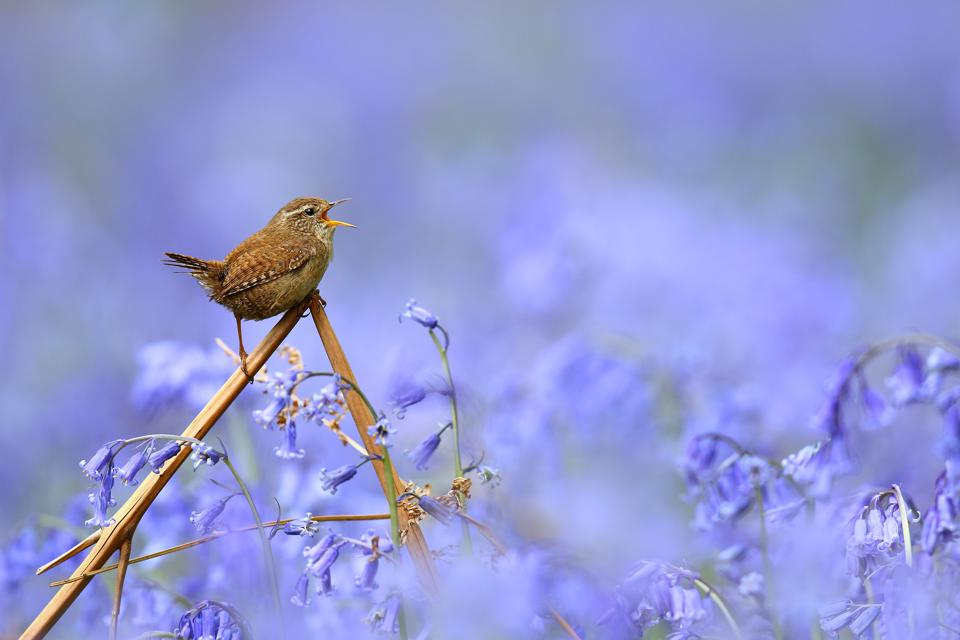 Beautiful singing wren, Bird Photographer Of The Year