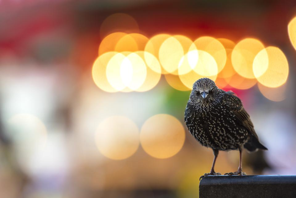 Beautiful starling, Bird Photographer Of The Year
