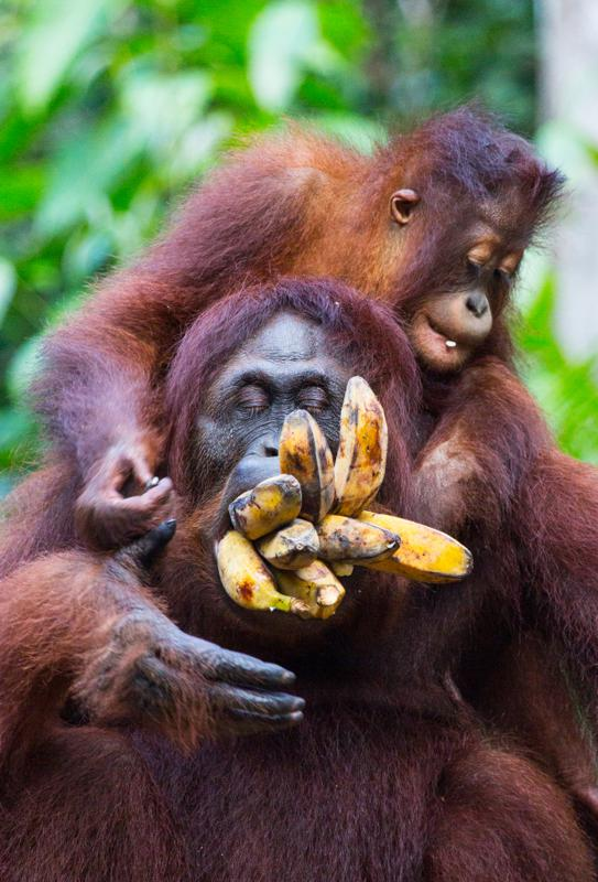 Humorous Chimpanzees
