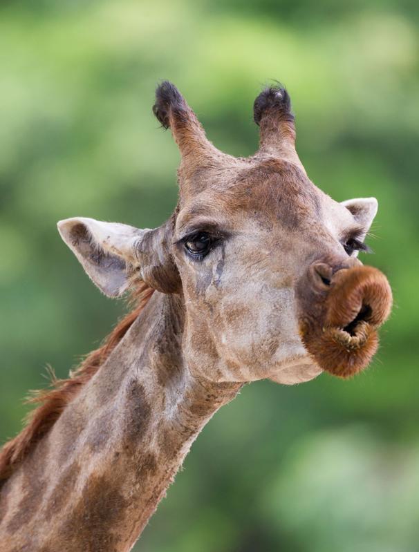 funny kissing giraffe