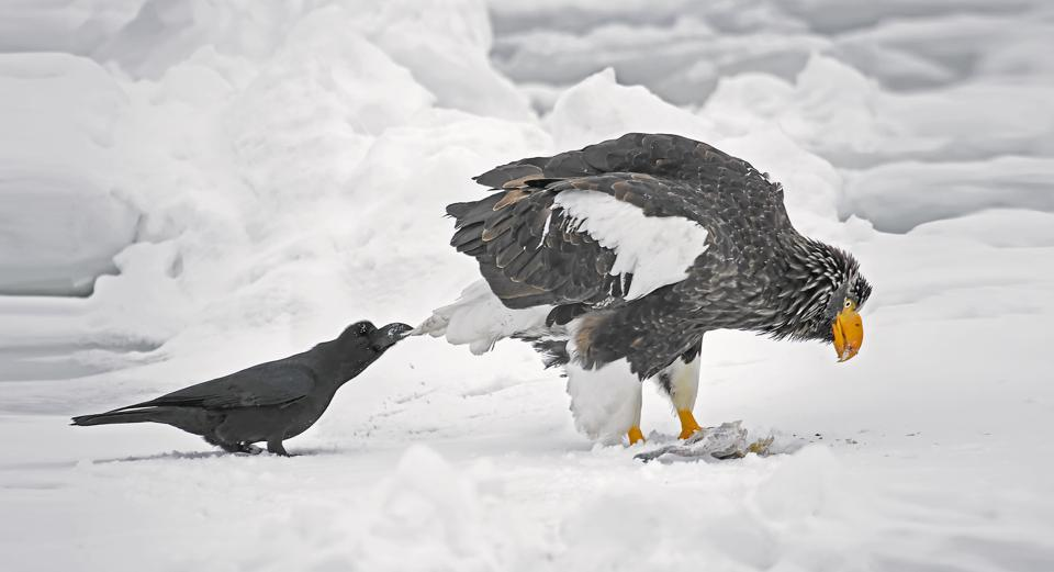 funny eagle and pesty crow