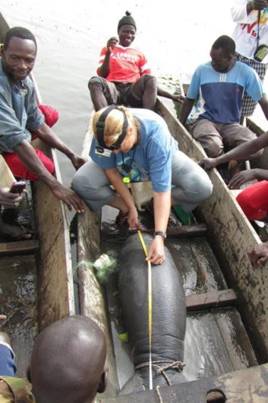 Dr. Lucy Keith-Diagne measures a manatee calf in Lake Gueirs, Senegal.