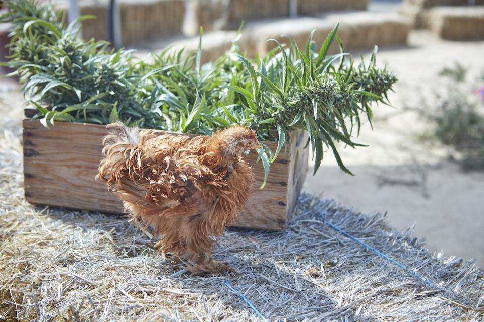 Sonoma Hills Farm, Aaron Keefer, cannabis farmer, organic cannabis, craft cannabis