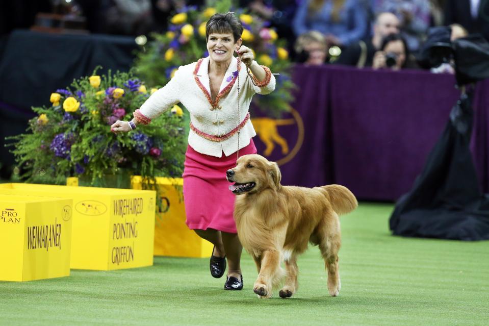 Golden Retriever Daniel  Westminster Dog Show