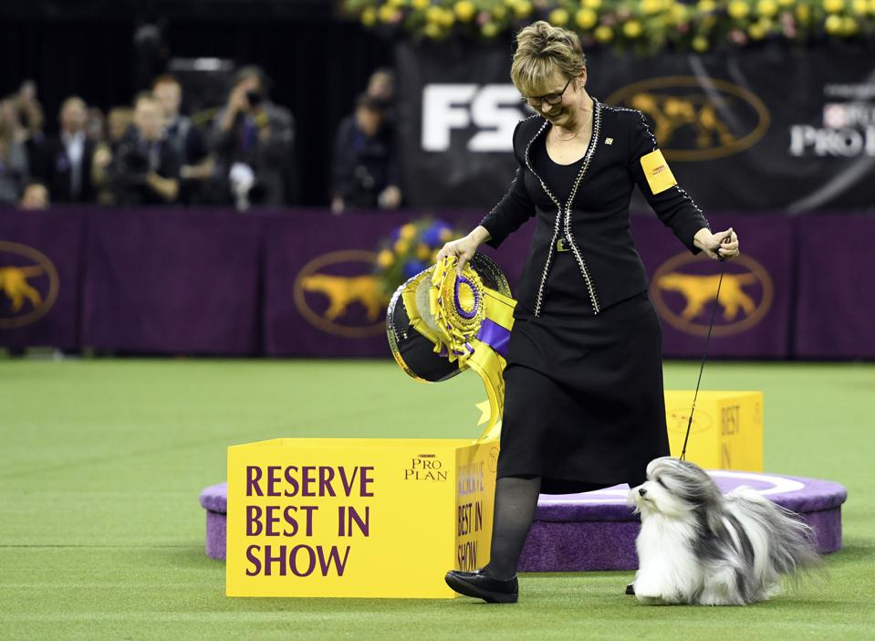 Westminster Kennel Club Hosts Its Annual Dog Show In New York - Bono the Havanese