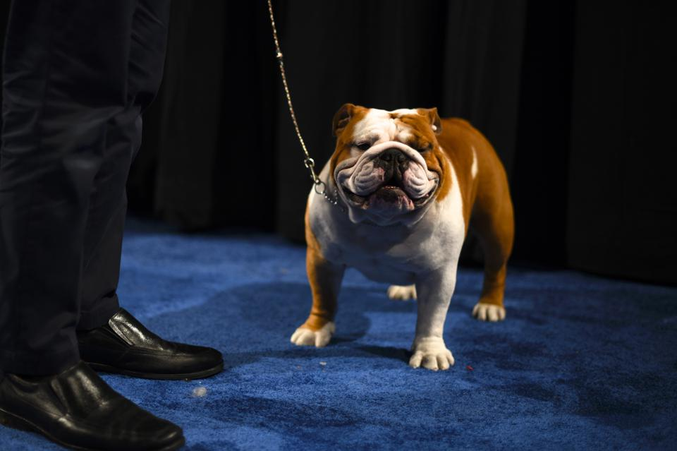 Thor the Bulldog wins 2019 National Dog Show