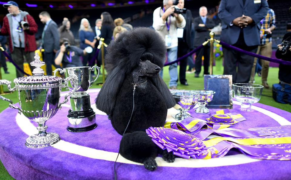 Siba the Standard Poodle won Best in Show at the 2020 Westminster Dog Show.