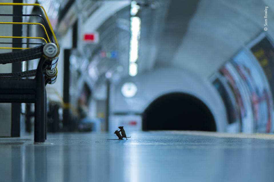 Mice fight at a metro station, winner photo