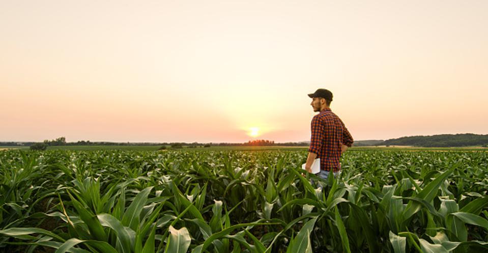 Man on cornfield