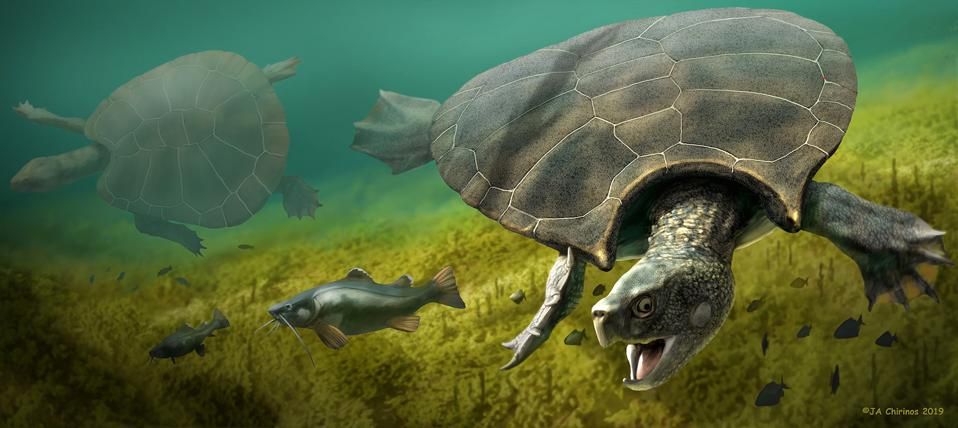 An artistic reconstruction of the giant turtle, Stupendemys geographicus: A male horned giant turtle in front, and female giant turtle in the back.