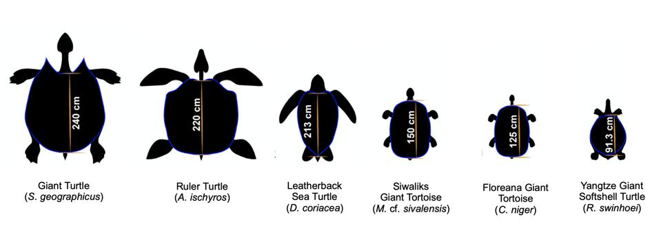 The largest known turtles and tortoises, ranked by shell size. The leatherback sea turtle, Floreana giant tortoise, and Yangtze giant softshell turtle are all still alive today.  The male giant turtle came equipped with horns and is the largest known turtle to have ever existed.