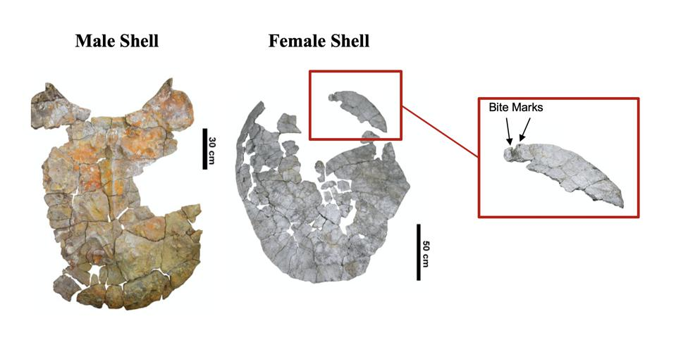 fossilized giant turtle shell. Males were horned turtles. Females show bite marks, perhaps from giant caimans.