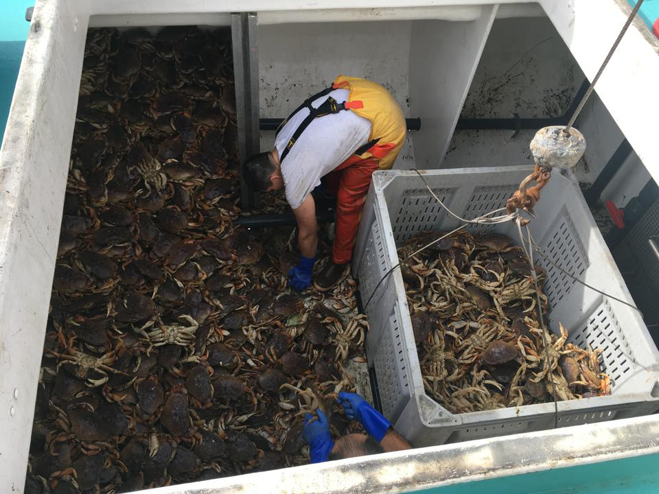 Dungeness crab being unloaded by fishermen in California on fishing boat