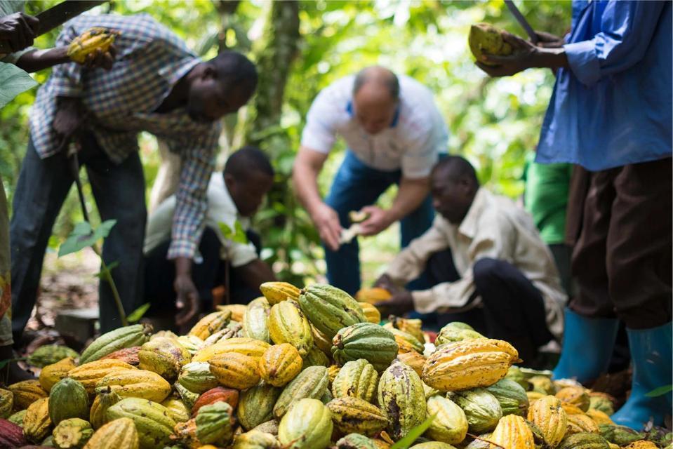 Pieter De Villiers selects cacao in Uganda