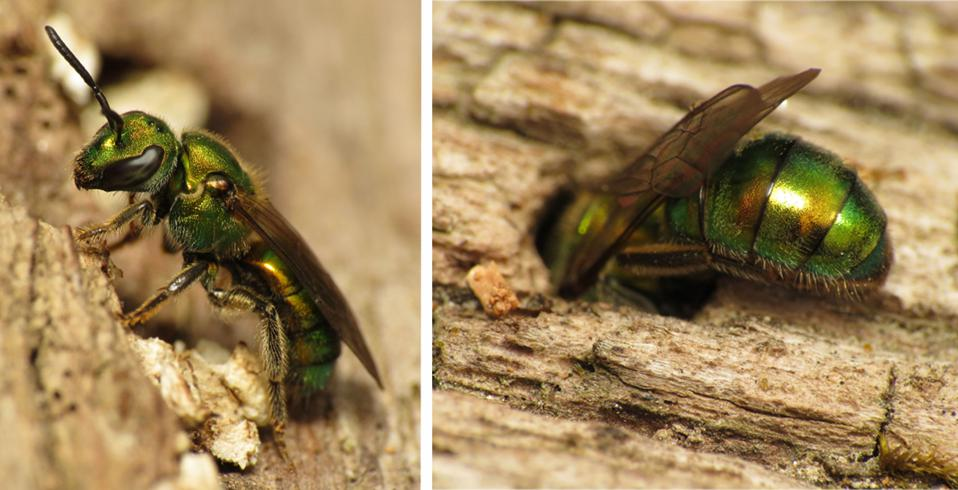 Nesting Augochlora Pura